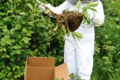 Honeybee Swarm Removal,Collection and Rescue-Columbia River Gorge & Portland Metro Area