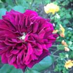 Rosa 'Cardinal Richelieu'