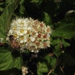 Bee on Native Ninebark